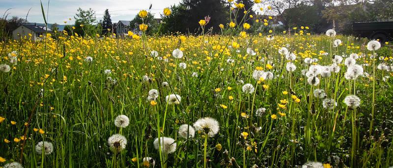 Blumenwiese im Frühjahr
